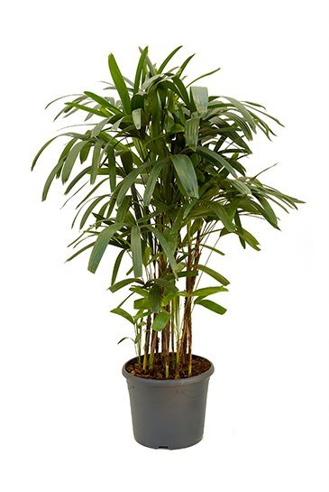 Rhapis excelsa 120 cm kamerplant kopen  123kamerplanten