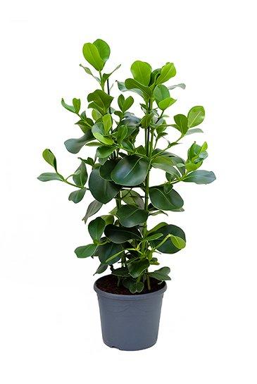Clusia rosea 120 cm kamerplant kopen  123kamerplanten
