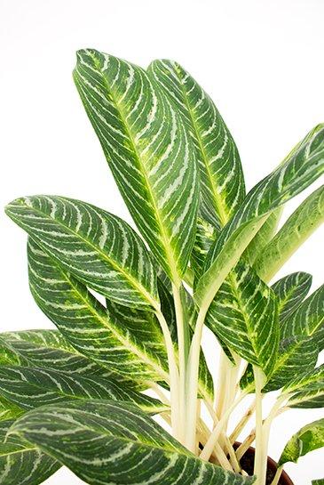 Aglaonema Key Lime 70 cm binnenplant kopen  123kamerplanten