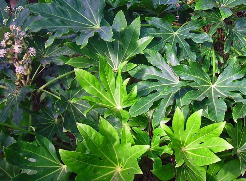 Non Invasive Bamboo Species