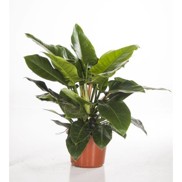 Groene kamerplanten online bestellen  Topkwaliteit