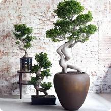 Bonsai boompje kopen  Ruim aanbod  Fleurdirect