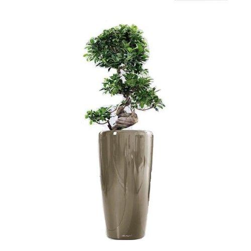 Bonsai Svorm incl pot  Gratis thuisbezorgd  Fleurdirect
