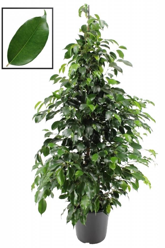 Ficus Danielle een extra volle plant  FloraStore