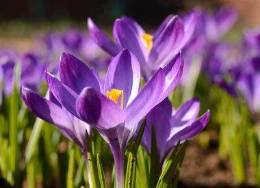 De Warande Blumenzwiebeln  Stinsenpflanzen