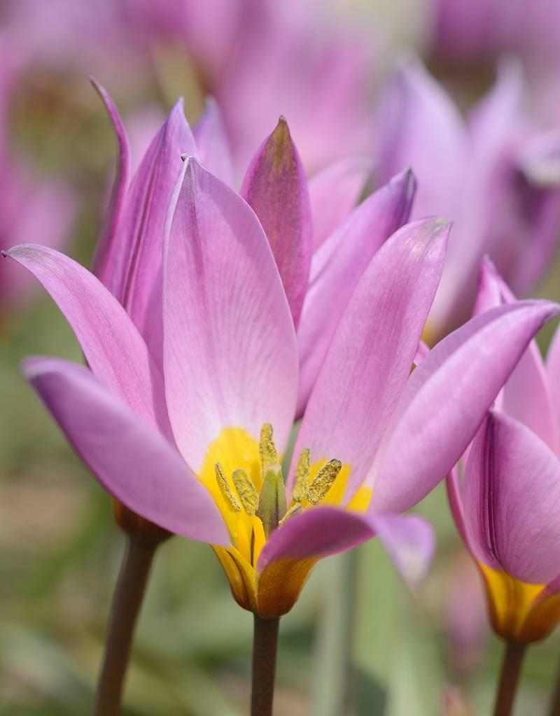 Tulipa humilis Wildtulpen kaufen  De Warande