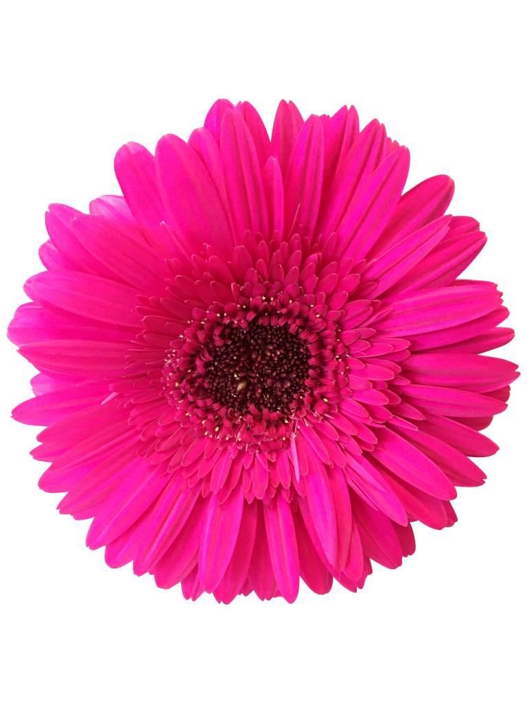 Pinke Gerbera gnstig online bestellen bei bezahlbare