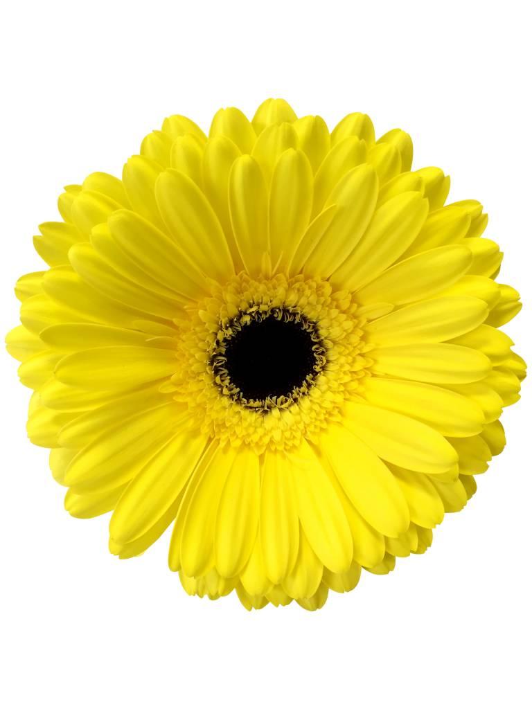 Gerbera online bestellen bei bezahlbareblumen  Dillenberger Blumen GmbH