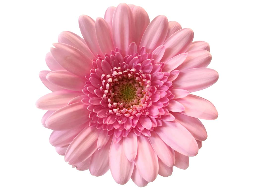 10 Mini Gerbera Rosa  bezahlbareblumende  Bezahlbare