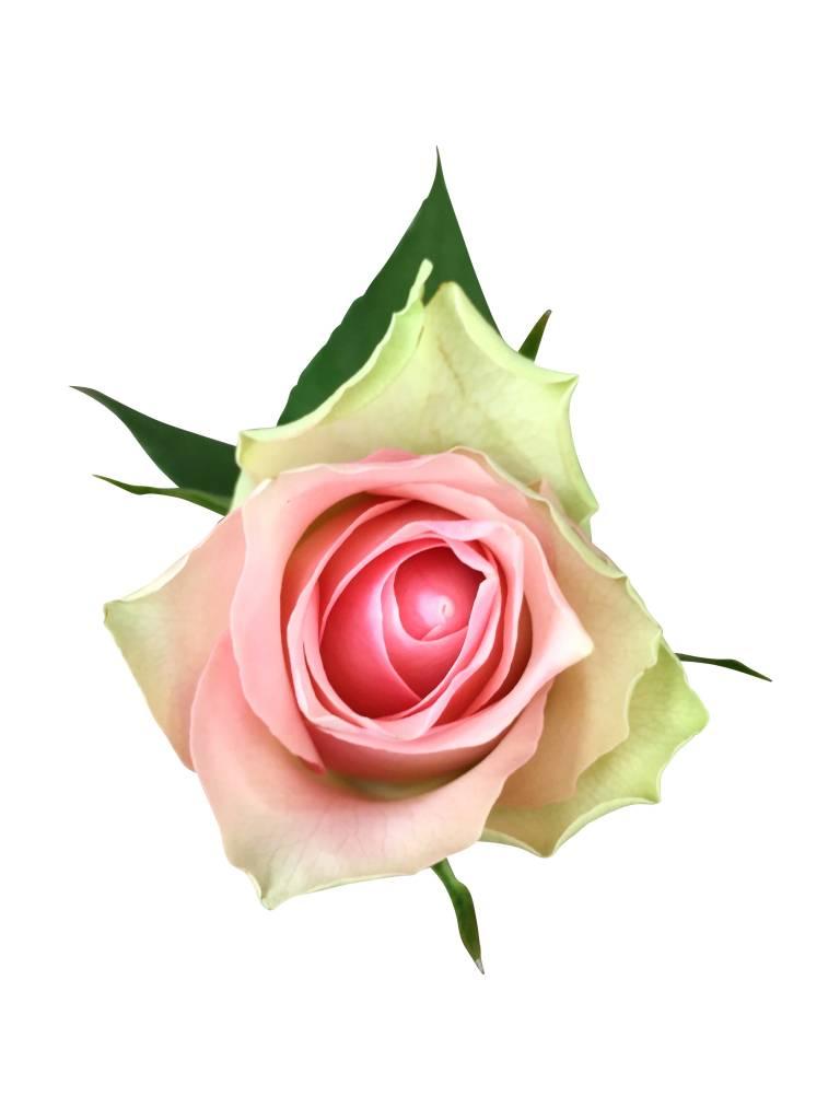 10 Rosa Rosen im Bund online kaufen  bezahlbareblumende  BezahlbareBlumende