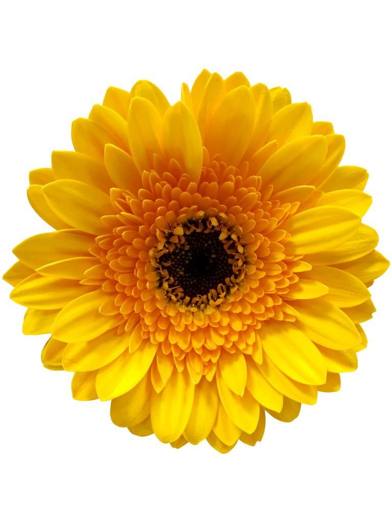 10 Mini Gerbera Gelb  bezahlbareblumende  Dillenberger