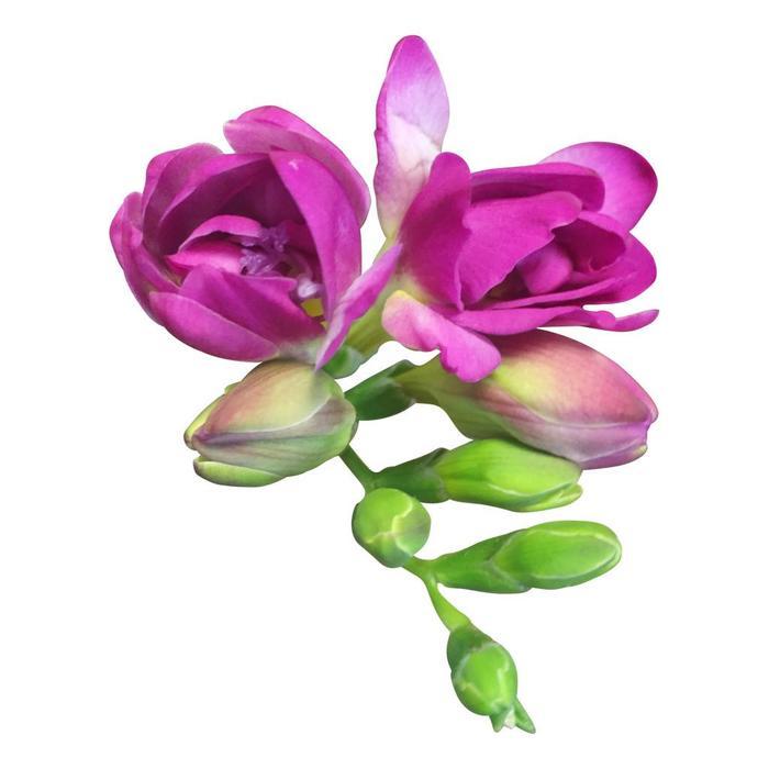 Frische Schnittblumen direkt online beim Grohndler