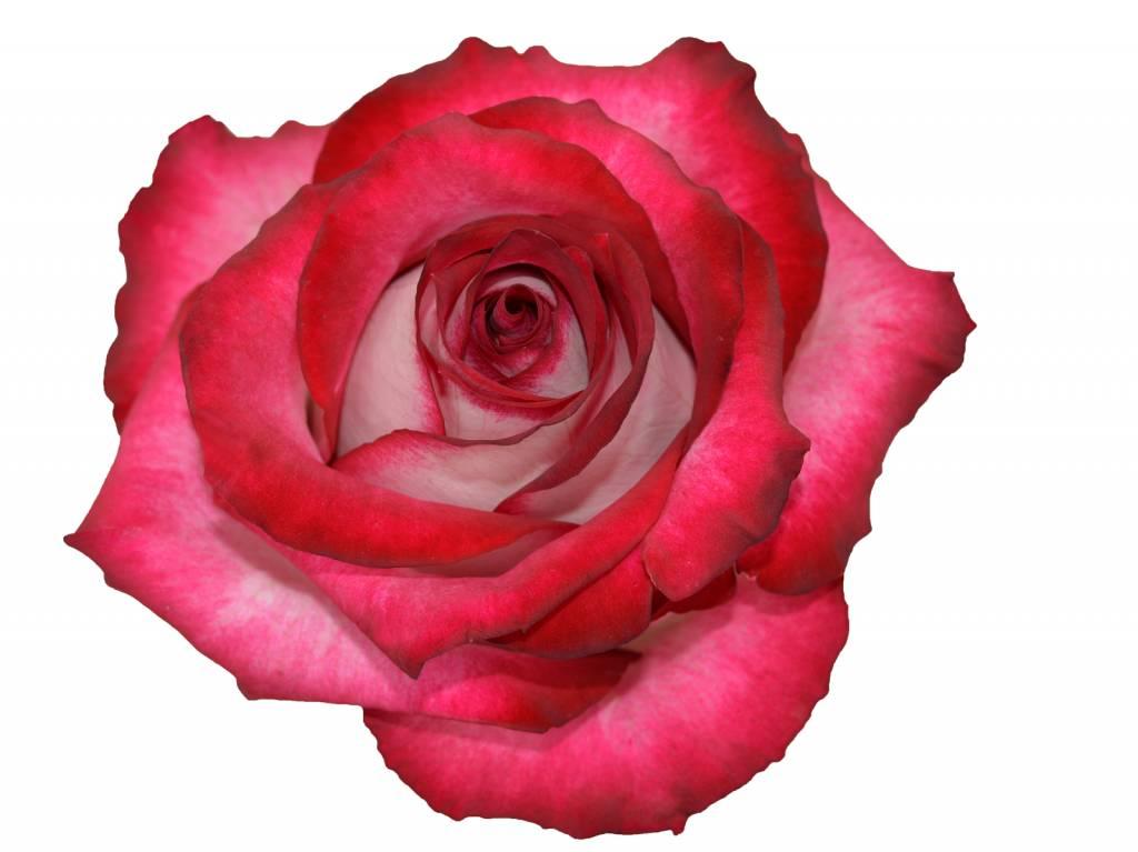 Rosen bestellen  Rosen online bestellen  bezahlbare