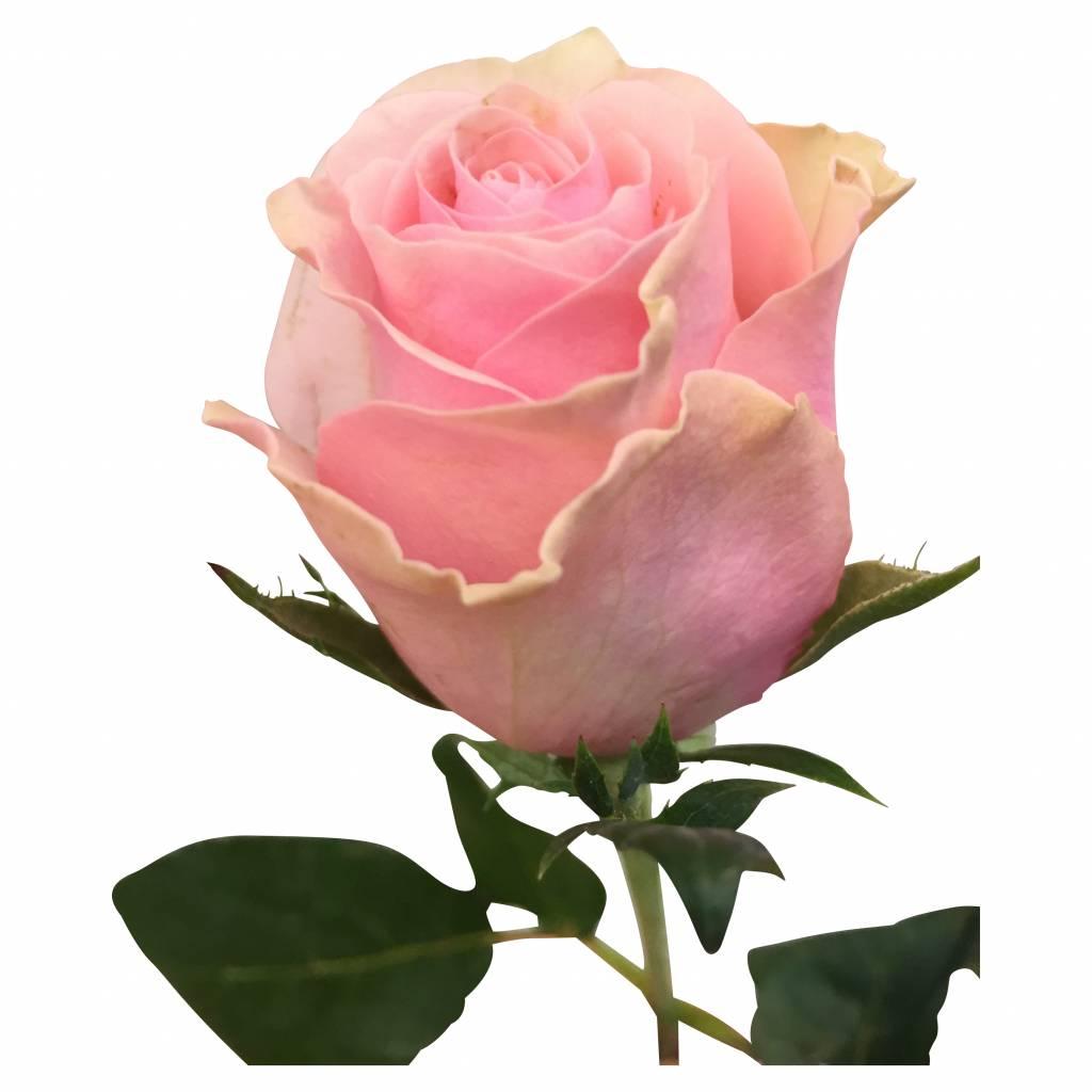 10 Rosen im Bund online kaufen  bezahlbareblumende