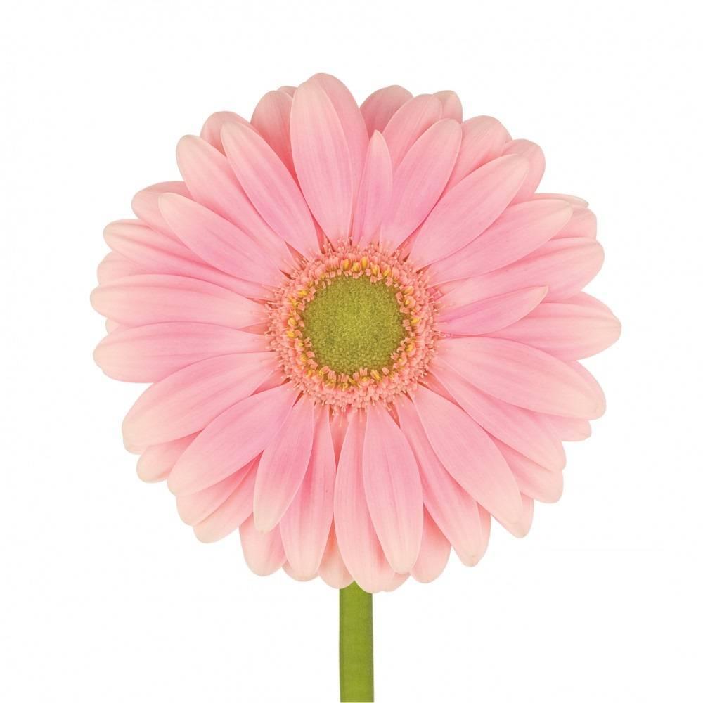 Gerbera online bestellen bei bezahlbareblumen