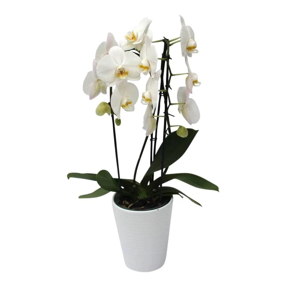 Orchidee White in pot White eenvoudig en snel online
