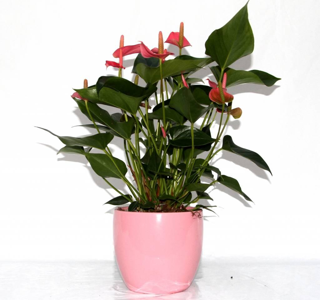 Anthurium roze in bloempot eenvoudig en snel online