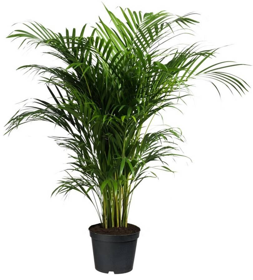 Palm Areca Lutescens Large eenvoudig en snel online