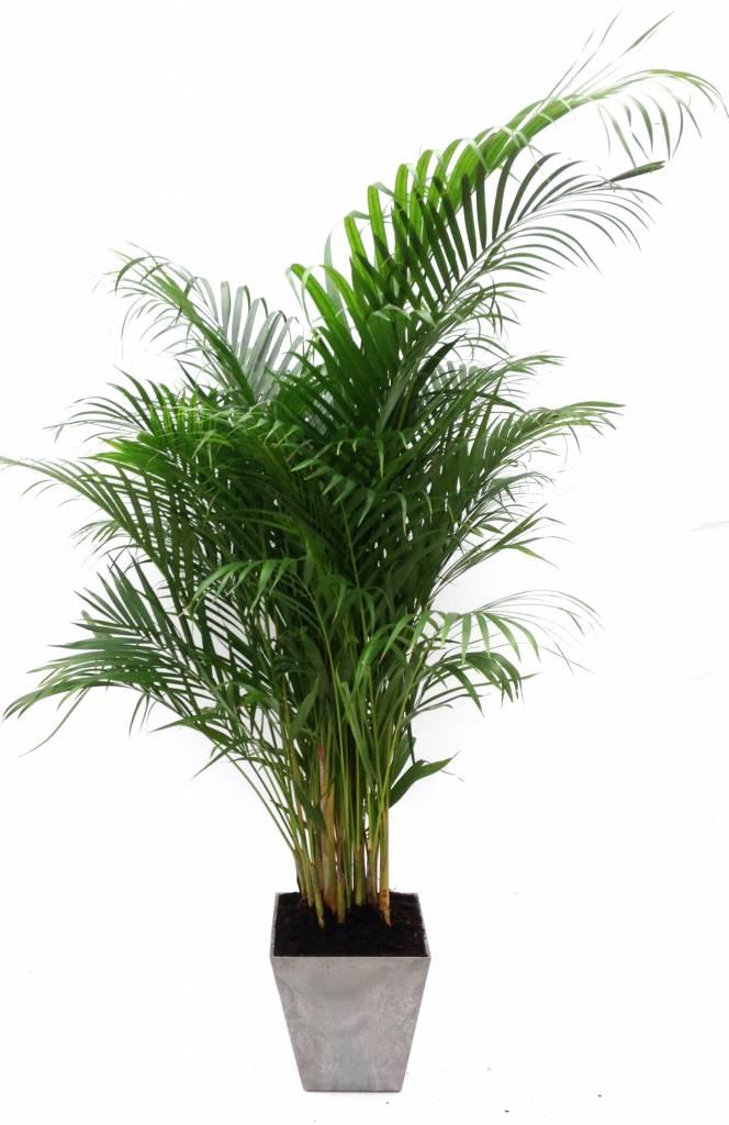 Palm Areca Lutescens in pot Artstone grijs eenvoudig en