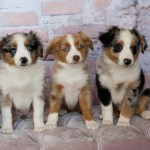 Toy Teacup And Miniature Australian Shepherds