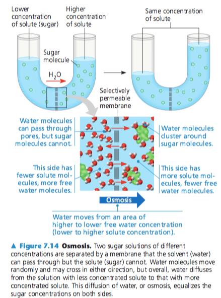 Osmosis Dan Difusi : osmosis, difusi, Konsep, Difusi, Osmosis