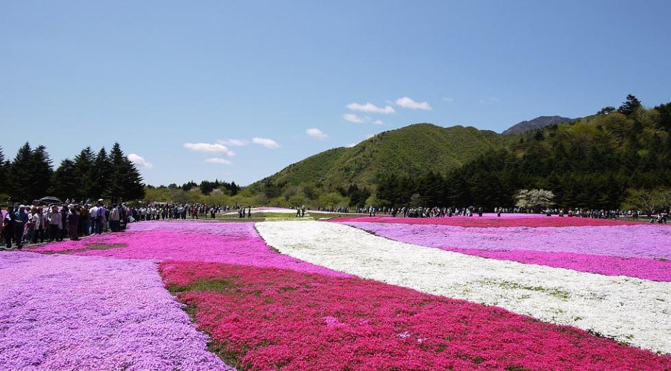 fleurs du mont fuji au japon