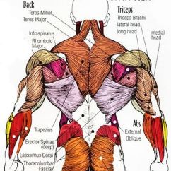 Pull Up Muscles Worked Diagram Alternator Wiring Chevy 350 Or Chin What S The Difference Nik V Talkshow Latissimus Dorsi Lats Wings Clay That Creates Desired Taper Look Function Is To Support Different Movements Of Shoulder