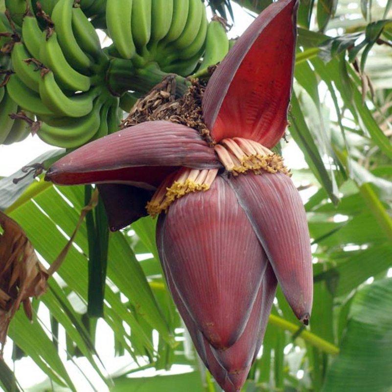Resultado de imagem para coração da bananeira imagem