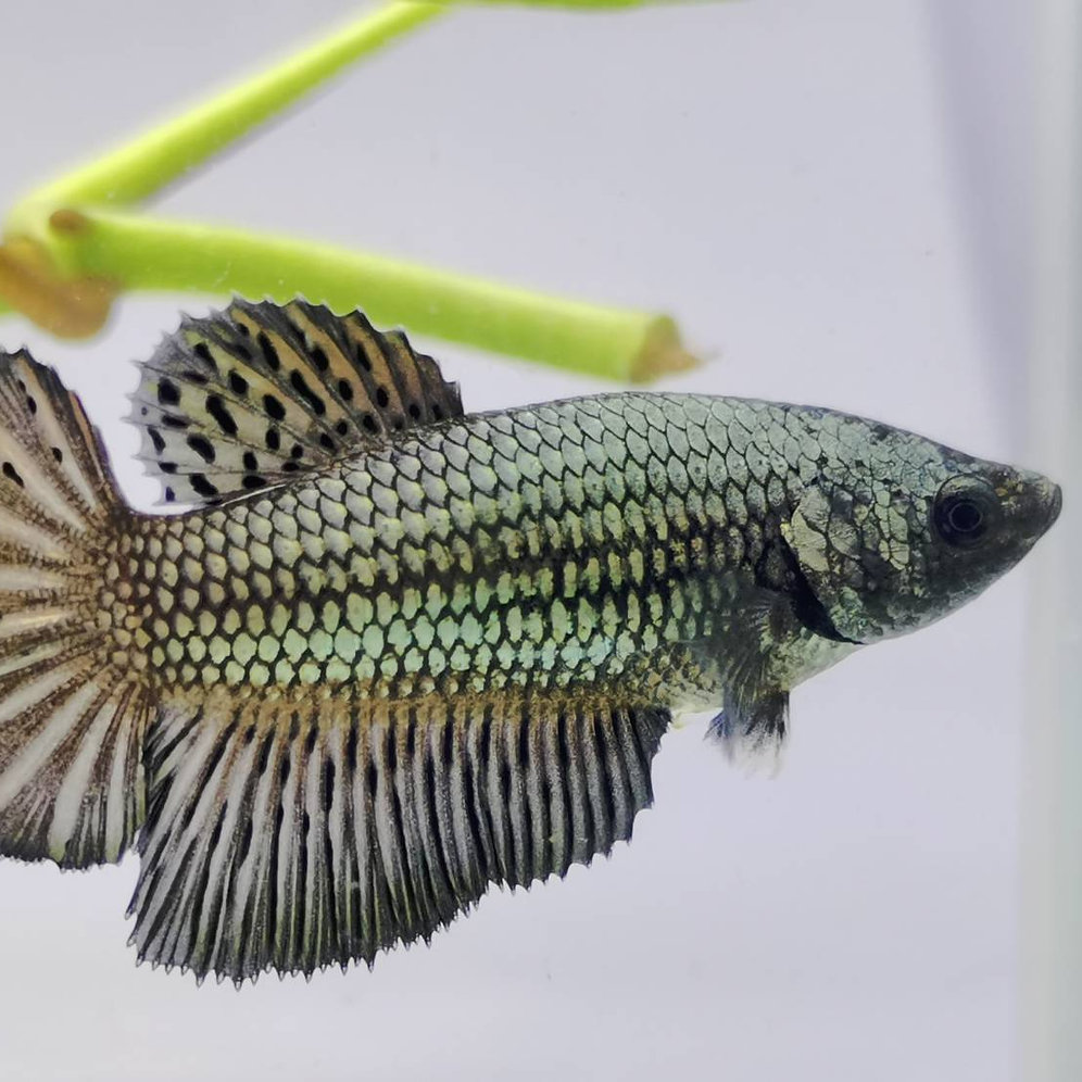 FM350 BLACK DRAGON HALFMOON FEMALE BETTA | Mysite