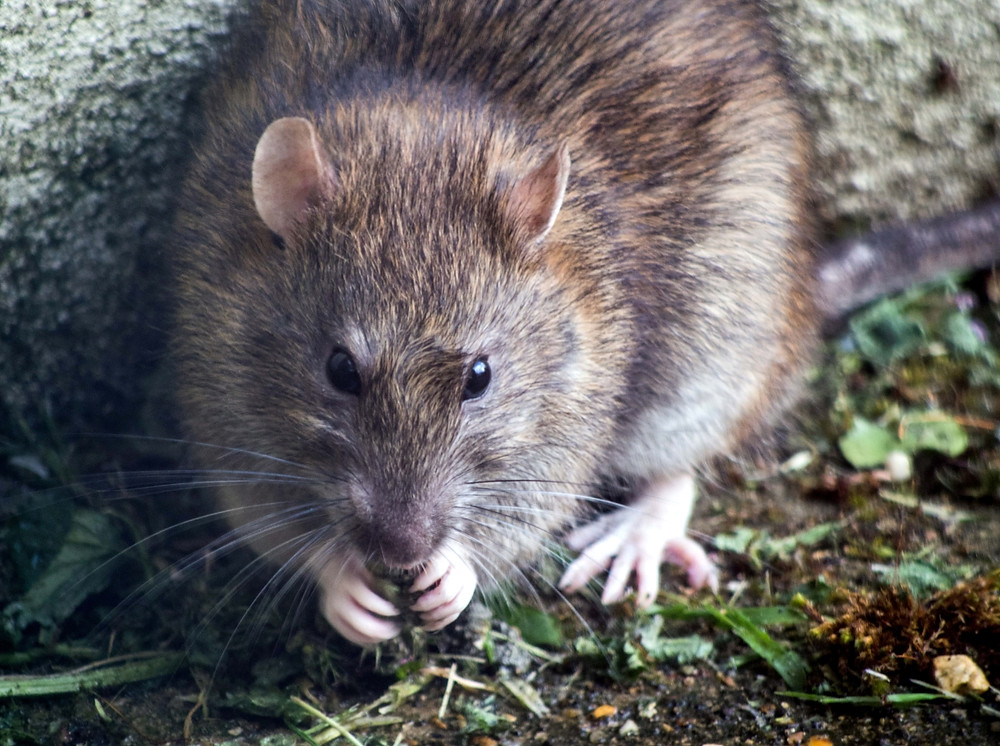 What is Hantavirus? 5 things you should know