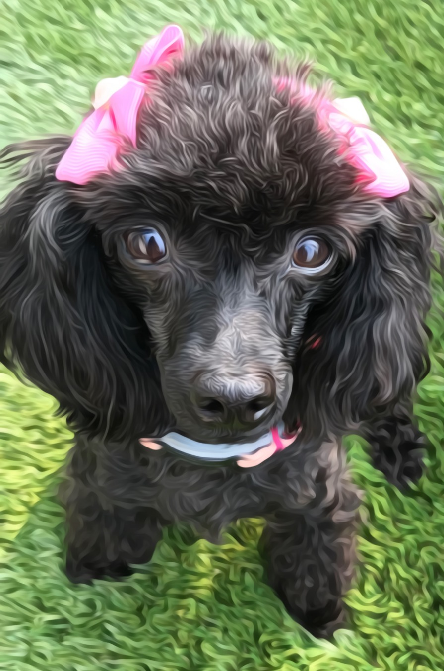 Toy Poodles For Sale In Michigan : poodles, michigan, Poodles, Michigan