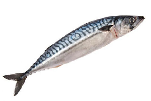 Mackerel (Titus) Fish | poniglas