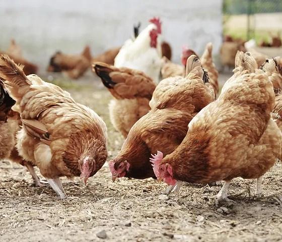 poultry science association hatchery