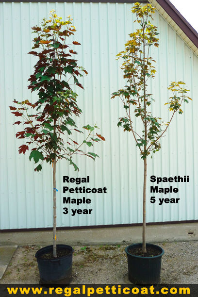 Introducing The Regal Petticoat Maple Tree created by