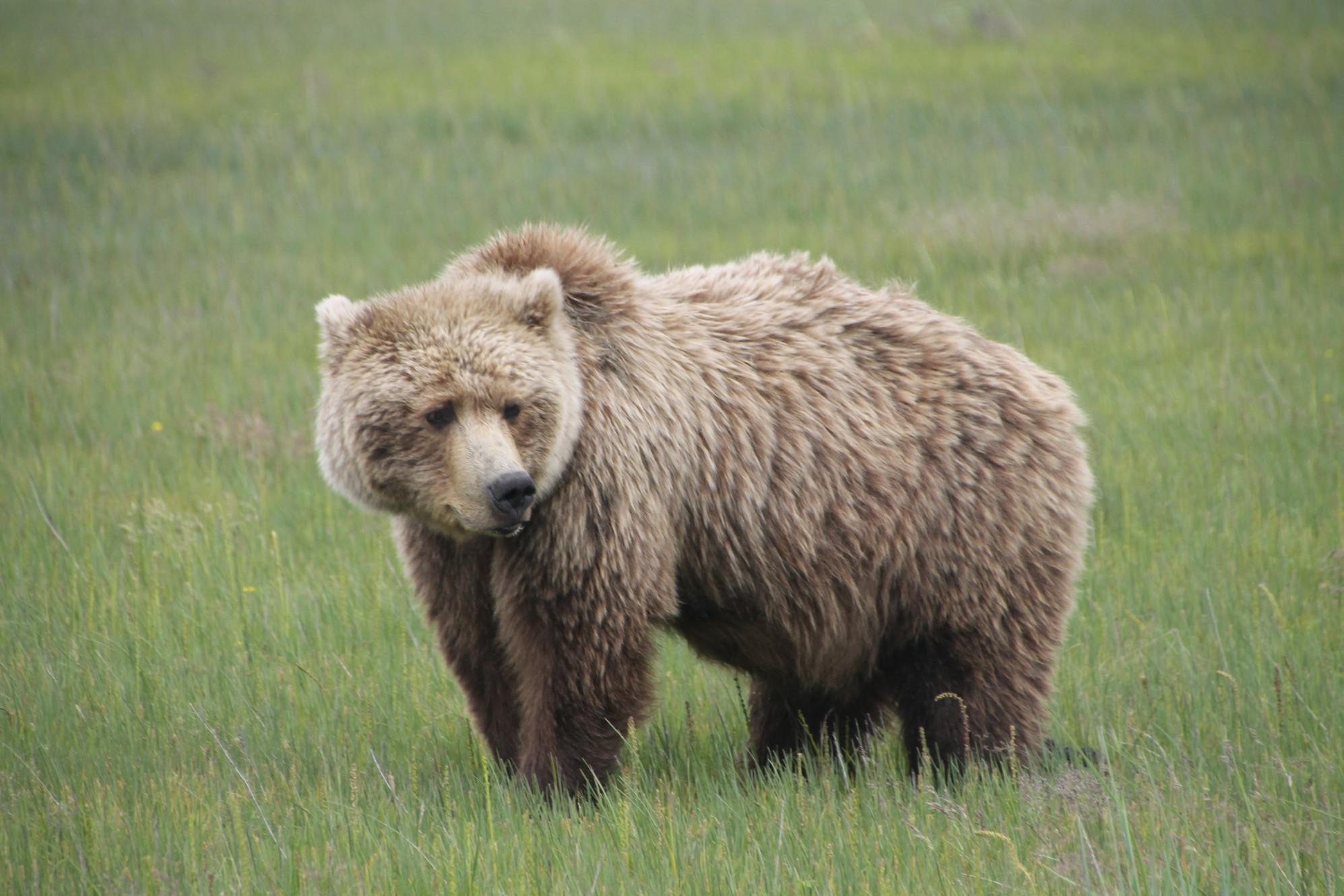 alaska bear viewing bear