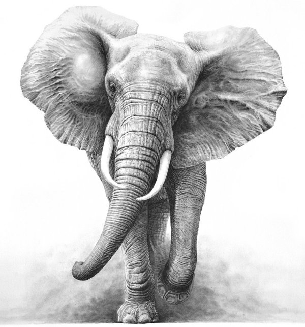 Elephant Drawings Gary Hodges