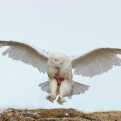 Snowy Owl Adaptations Diagram Manrose Fan Wiring I Research Institute Daniel J Cox Natural Exposures Com