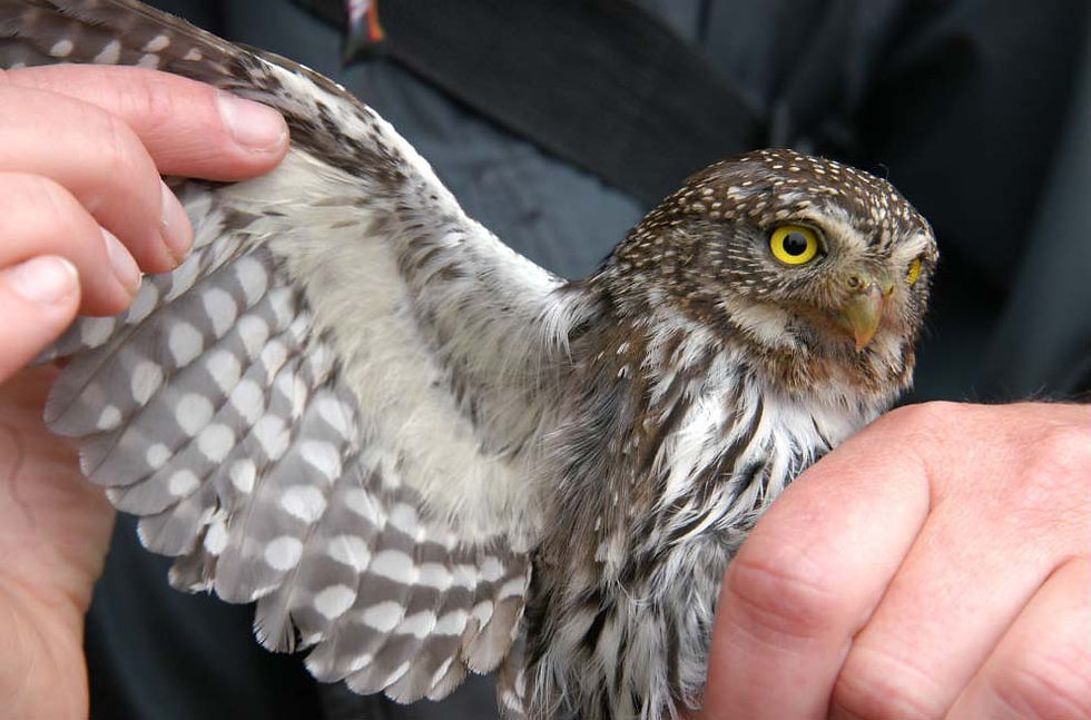 northern pygmy owl research