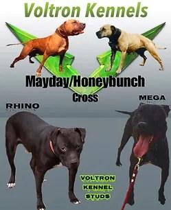Honeybunch Pitbull Kennels : honeybunch, pitbull, kennels, Males, Mysitevoltronkennels
