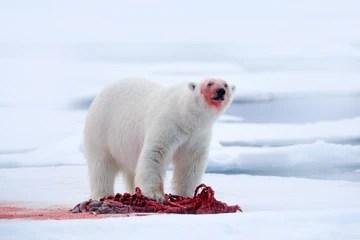 polar bear eating a carcass