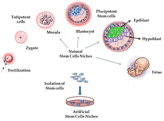 Stemcells Stem Cells