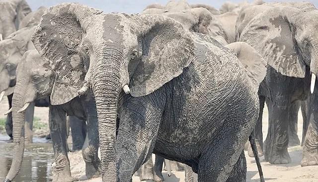 """Résultat de recherche d'images pour """"""""Au plus près des Eléphants - De tendres Géants"""" (c) Jens Westphalen & Thoralf Grospitz photos"""""""