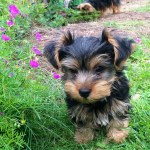 Bay Area Yorkies Yorkshire Terrier Puppies