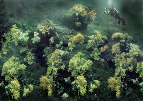 An underwater image of a large glass sponge reef with a scuba diver for scale (diver is smaller than one mound, and at least ten mounds are visible in the picture).