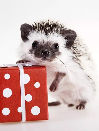 Hedgehogs and hedgehog items for sale - no pet store ads permitted!