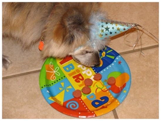 dog in a  blue birthday party hat dogs love birthday parties happy birthday snickers