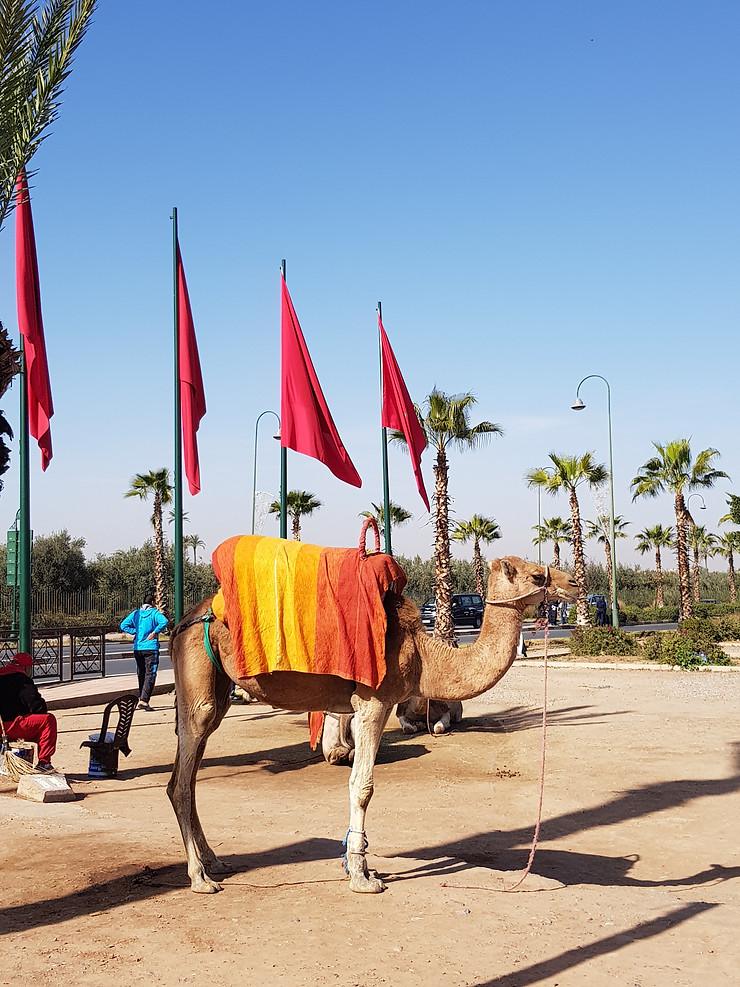 camello, visitar marrakech, la ciudad roja, banderas, dia soleado, arena, visitamos la ciudad de marrakech