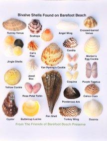 Types of Shells Florida Beach