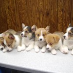 Corgi Puppies For Sale Welsh Corgi Puppies Corgi Land