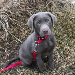 Purchase Akc Silver Lab Puppies For Sale Up To 60 Off